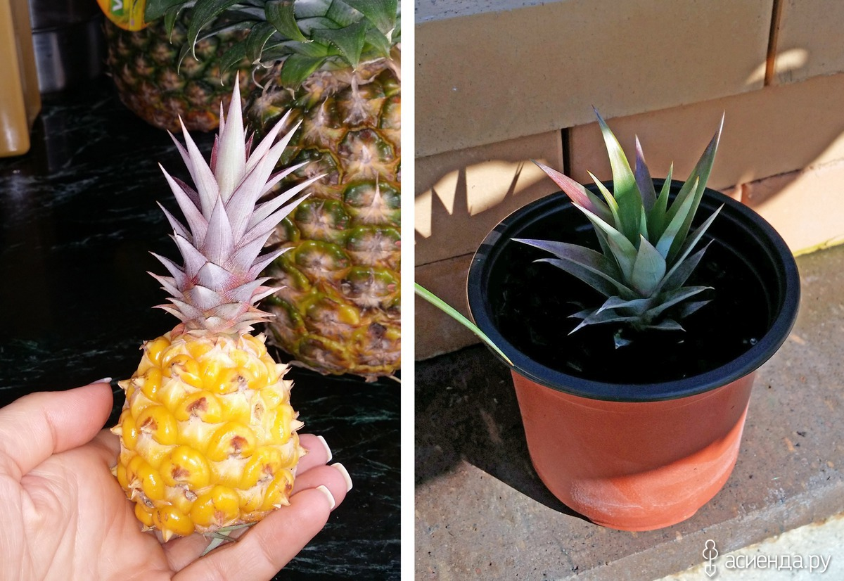 Как хранить ананас в домашних условиях, чтобы дозрел?