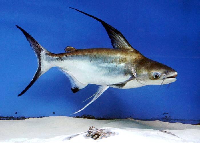 Польза и вред популярной рыбы пангасиус
