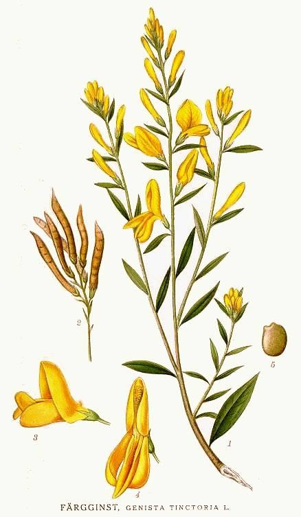 Дрок красильный: выращивание, уход, полезные и лечебные свойства