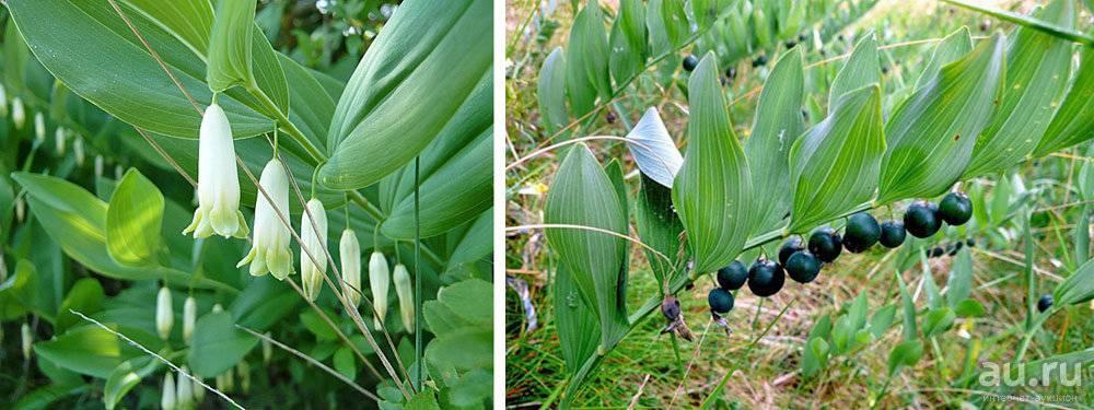 Купена лекарственная (волчья трава) – polygonatum officinale l.семейство лилейные – liliaceae