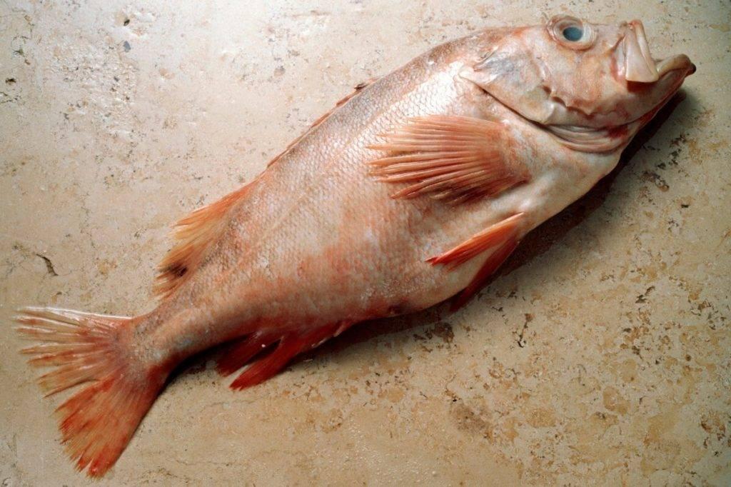 Морской окунь: полезные свойства и вред