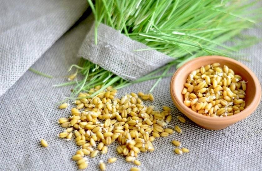 Польза и вред пророщенной пшеницы, как прорастить
