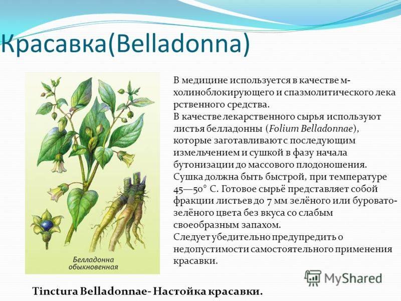 Белладонна: применение опасного лекарства и его полезные свойства