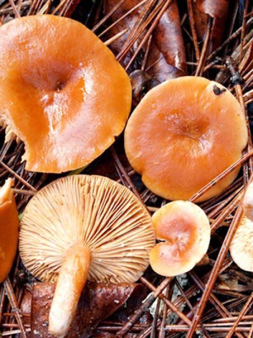 Можно ли грибы рыжики есть сырыми