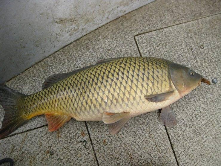 Польза и вред рыбы для организма человека