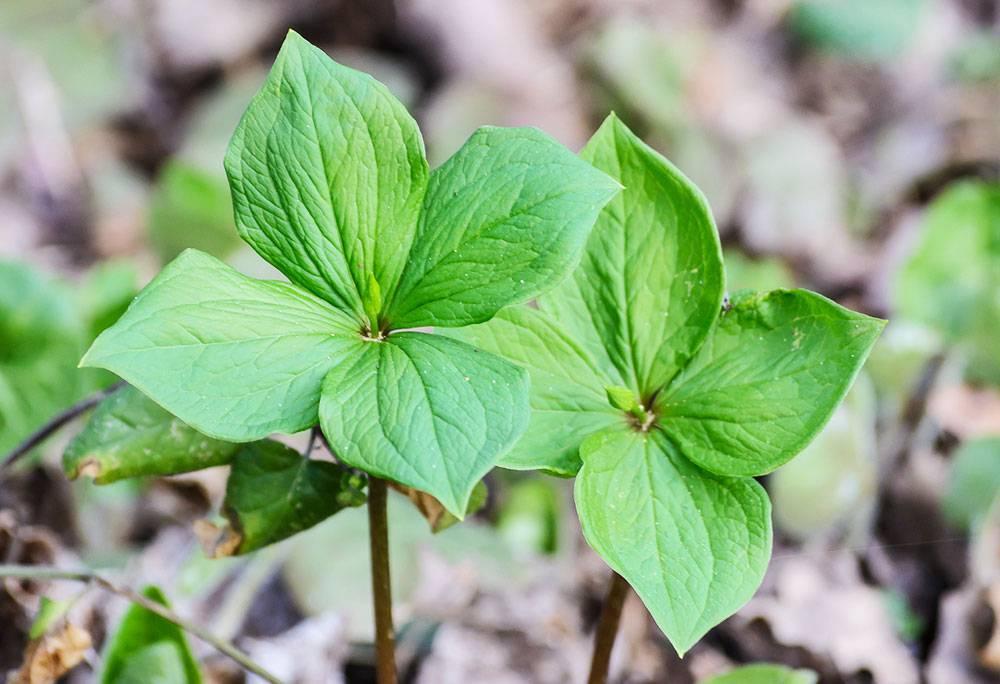 Растение вороний глаз и его применение в народной медицине
