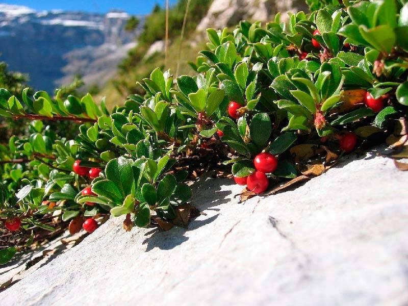 Толокнянка: инструкция по правильному применению медвежьей ягоды