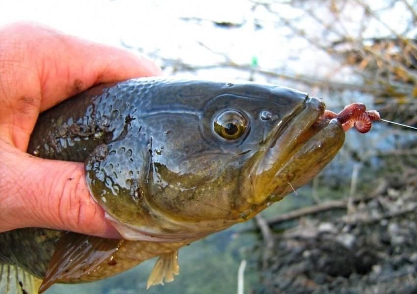 Как приготовить рыбу ротан