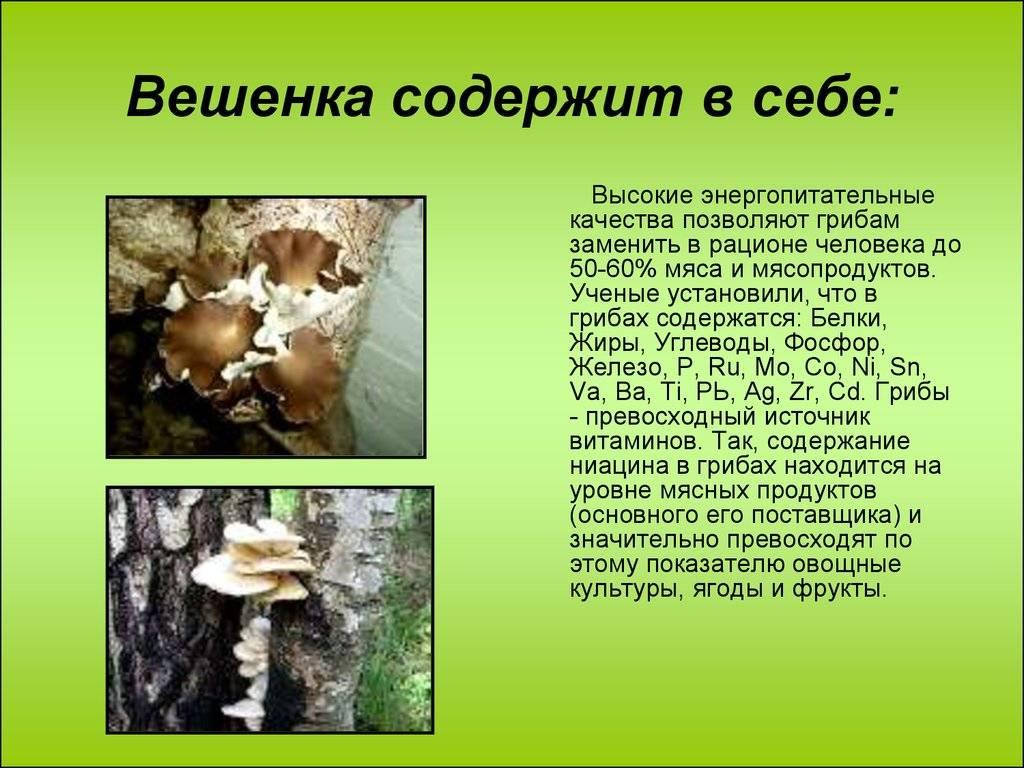 Вешенки: польза и вред самых распространенных грибов. калорийность вешенок и их полезные свойства для организма