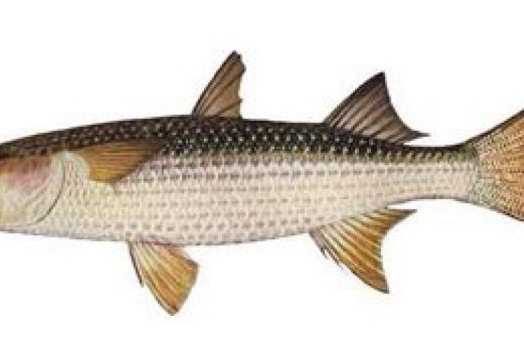 Кефаль: что за рыба