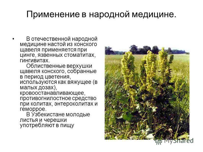 Лечебные свойства, применение и противопоказания к употреблению конского щавеля