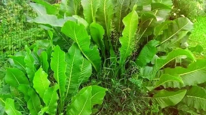 Как использовать листья хрена при болезни суставов: народные рецепты и особенности применения