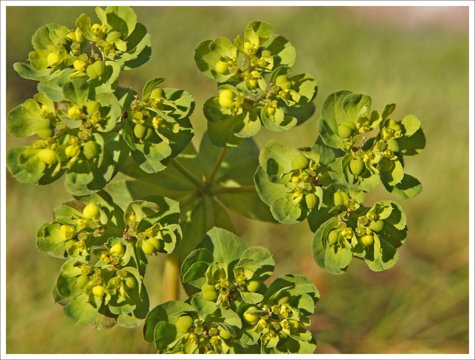 Володушка золотистая: лечебные свойства и противопоказания