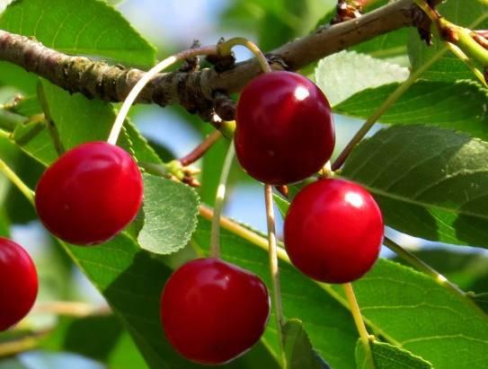 Как применяют целебные листья вишни, их полезные свойства и противопоказания