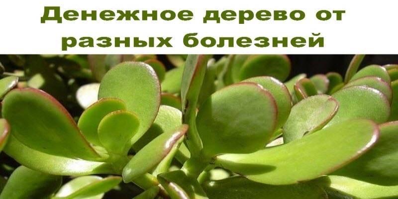 Денежное дерево: польза и вред для организма человека