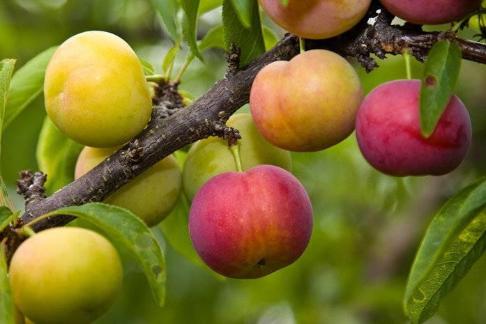 Алыча – польза и вред для организма, свойства, противопоказания, народные рецепты