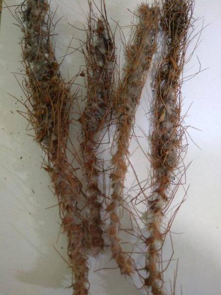 Caragana jubata (pall.) poir. описание таксона