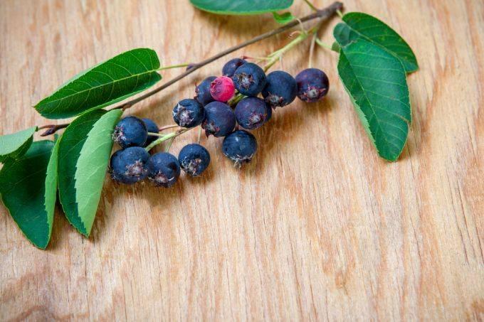 Чем полезна ягода ирга — польза и вред для здоровья