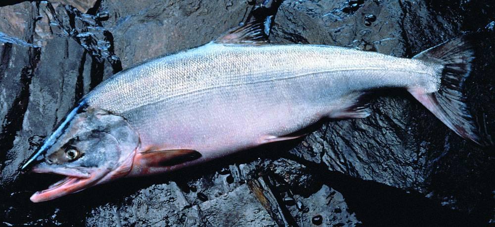 Рыба кета полезные свойства