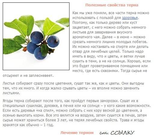 Терн: польза и вред для мужчин и женщин. применение терна в кулинарии и народной медицине. химический состав ягоды