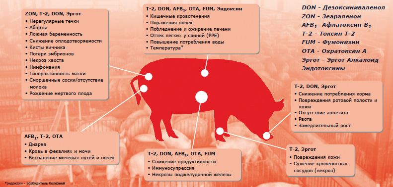 Польза и вред свинины