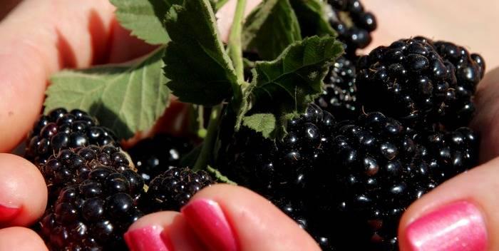 Польза и вред шелковицы для здоровья организма