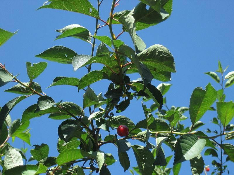 Вишня: состав, лечебные свойства вишни. листья вишни: полезные свойства. вишня для кожи лица и для волос