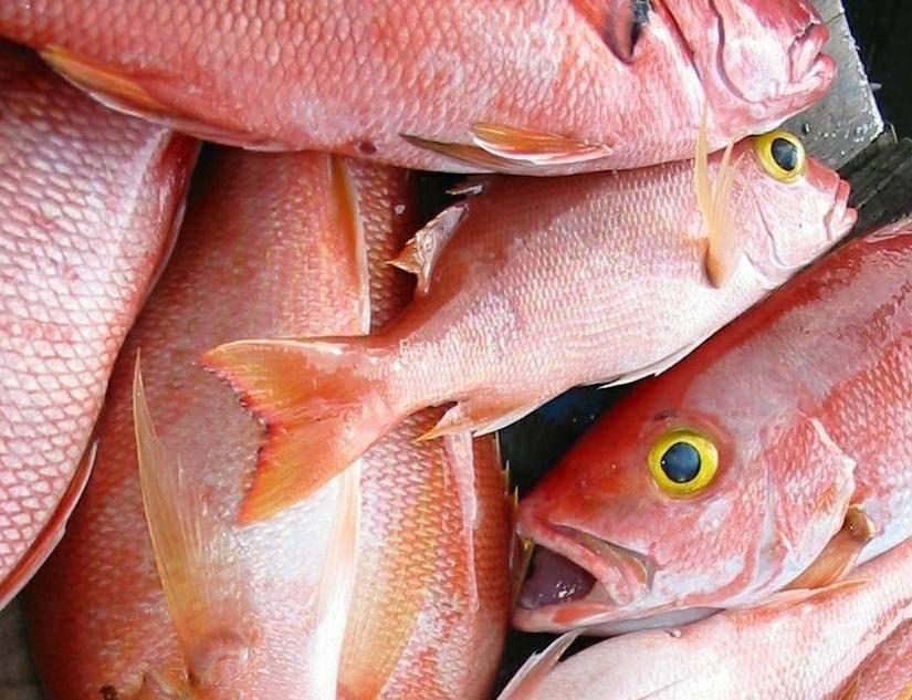 Морской окунь: вред и польза для организма. окунь речной польза и вред для организма