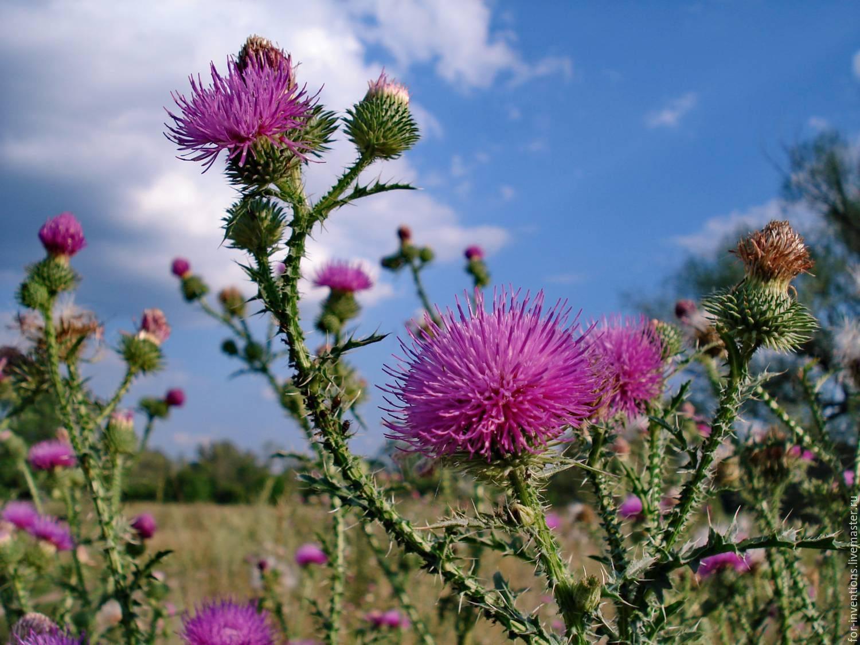 Трава зизифора: лечебные свойства и противопоказания, польза для женщин, фото