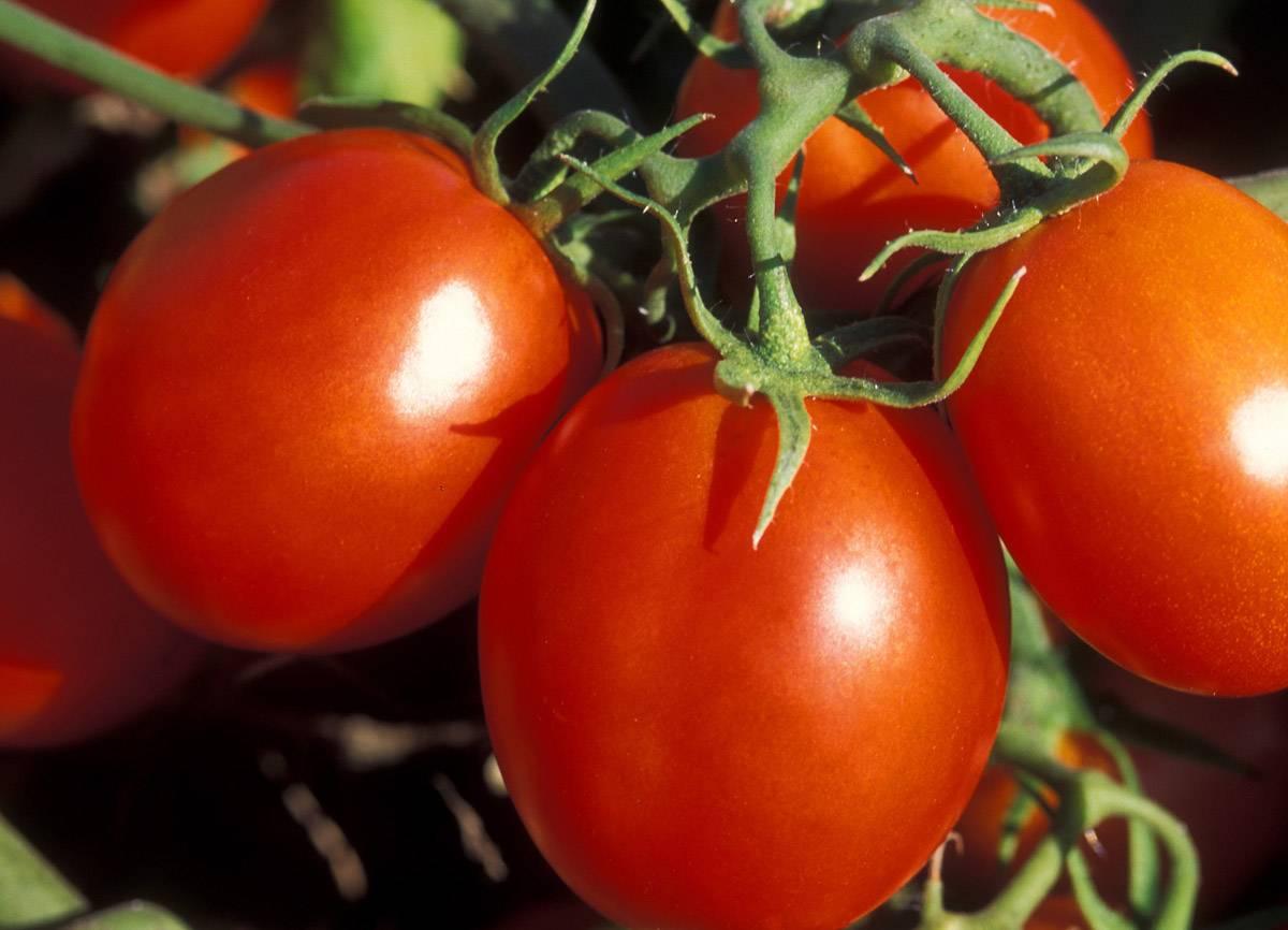 Все, что нужно знать о помидорах будущей маме