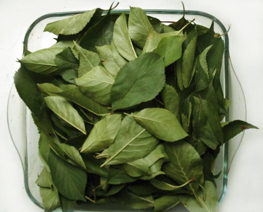 Чем полезны листья вишни – секреты и рецепты эффективного  применения
