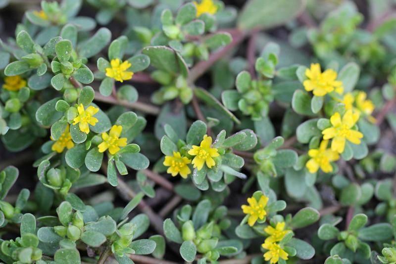 Лечебные свойства портулака огородного, польза растения и его противопоказания