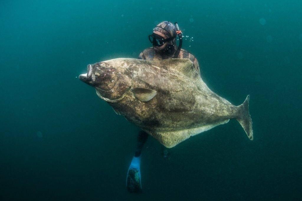 Чем полезна рыба палтус: польза и вред для нашего организма