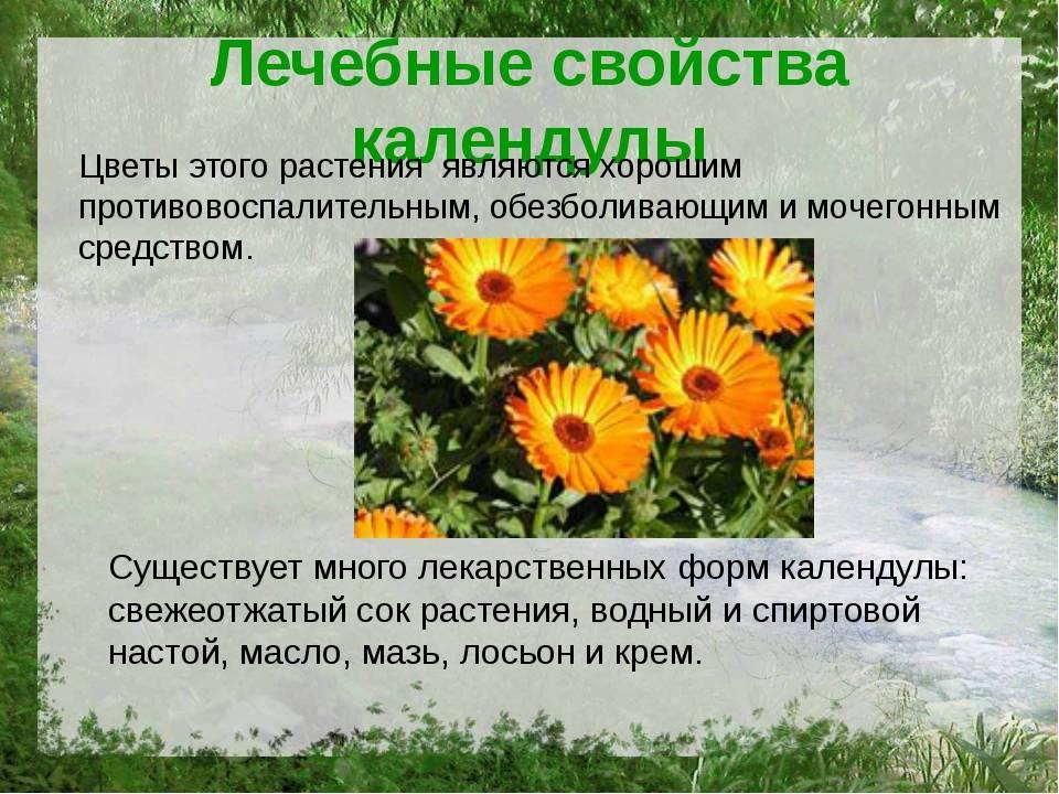 Календула: полезные свойства, противопоказания, польза и вред