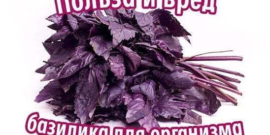 Базилик: польза, вред, выращивание семенами, лечебные рецепты