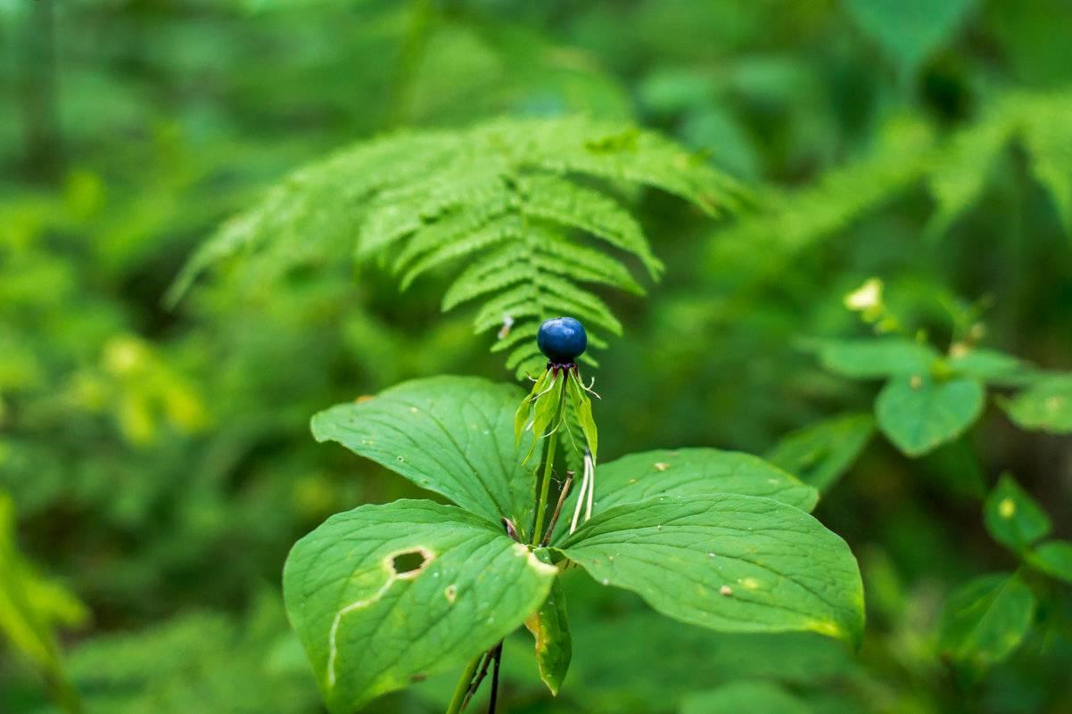 Вороний глаз - опасное и лечебное растение. вороний глаз ядовитое растение, фото, описание, лечебные свойства