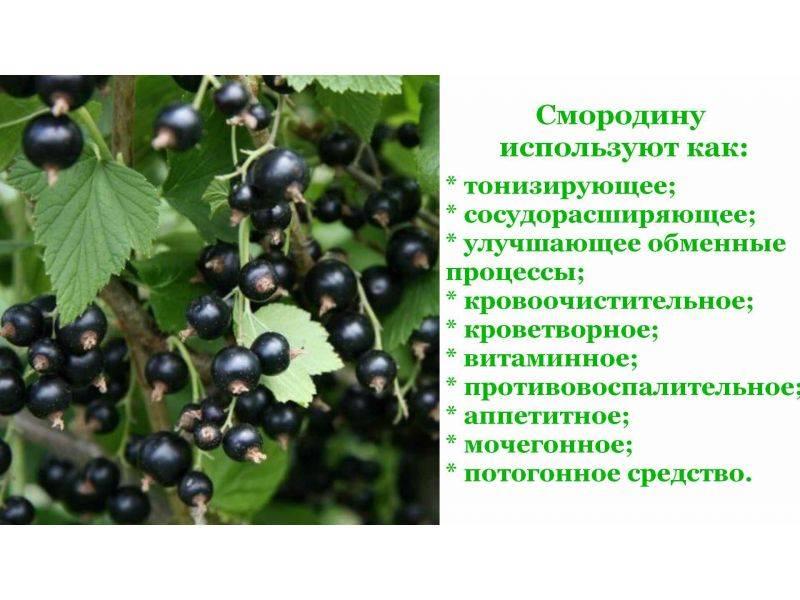Листья смородины: польза, вред, рецепты народной медицины