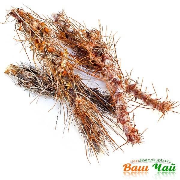 Карагана гривастая лечебные свойства и противопоказания