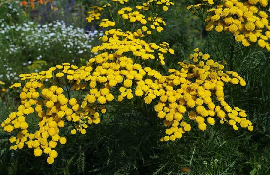 Пижма обыкновенная: применение цветков и травы в народной медицине