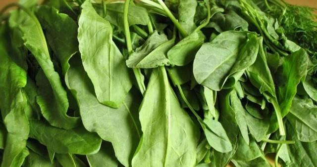 Травянистое растение щавель: польза и вред для организма человека