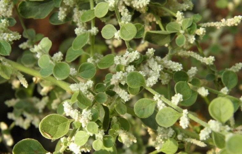 Трава эрвы шерстистой лечебные и вредные свойства для избавления от тяжелых недугов