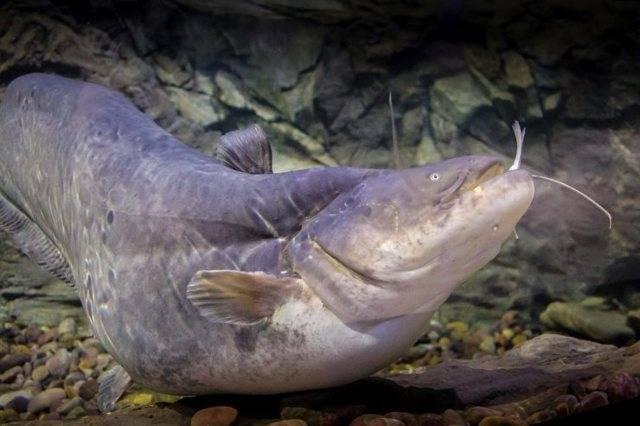 Рыба налим описание