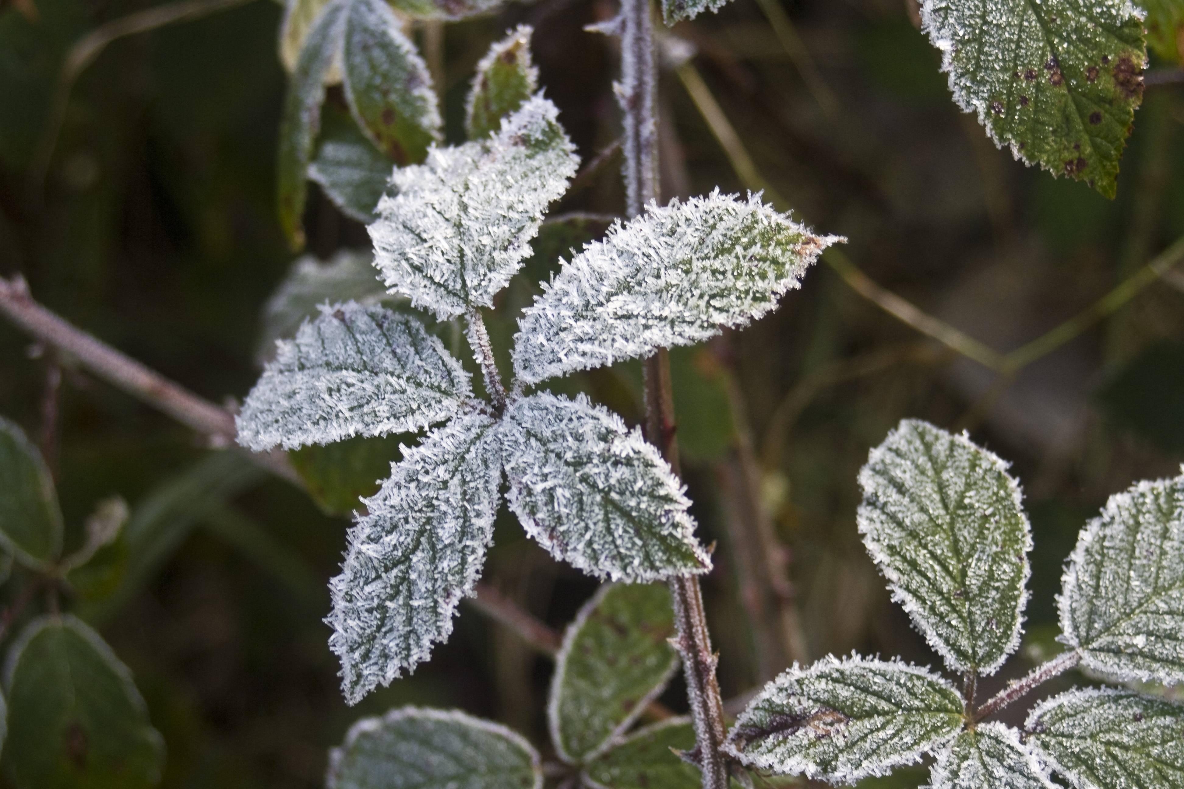 Листья ежевики — полезные свойства и противопоказания