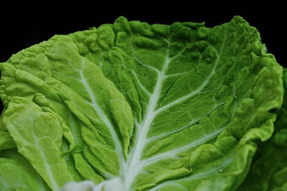 Польза свежей белокочанной капусты