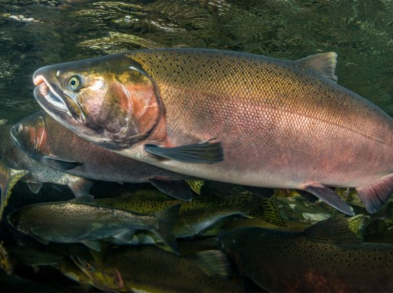 Рыба кижуч: польза и вред, пошаговые рецепты вкусных блюд