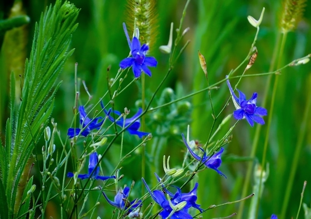 Живокость полевая — описание растения, состав и применение в народной медицине (100 фото)
