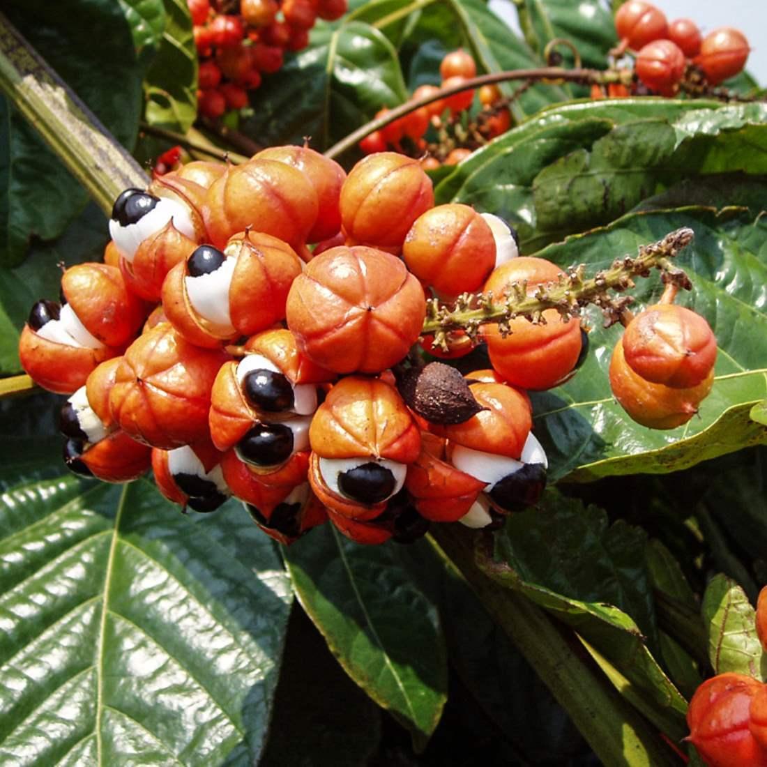 Гуарана: полезные свойства и вред для организма