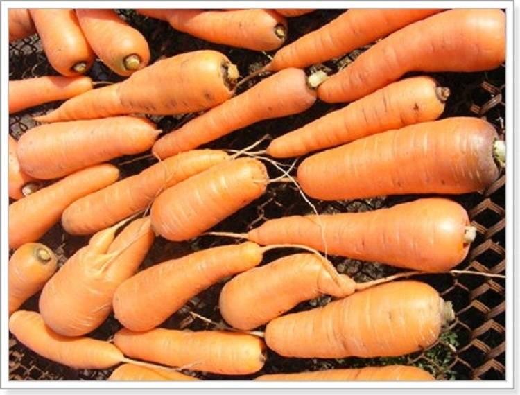 Как сушить морковь на зиму в домашних условиях? способы и рецепты