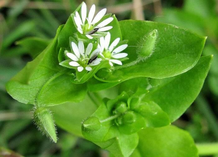 Каковы польза и вред растения мокрица и как его правильно применять