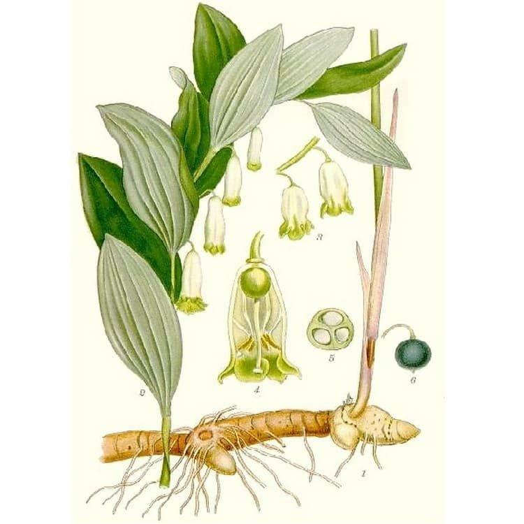 Купена лекарственная — декоративная и лекарственная трава